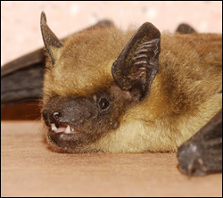 bat removal Highland Park